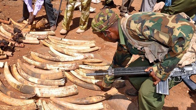 El tráfico de marfil y cuernos de rinoceronte financia a Al Shabab