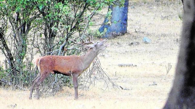 Polémica cacería en el Parque Nacional de Monfragüe