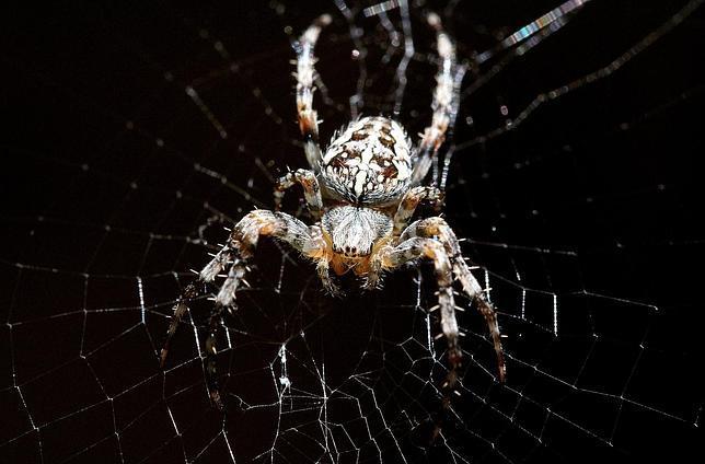 Los investigadores de la UPV han medido la difusividad térmica de la seda de la araña de jardín