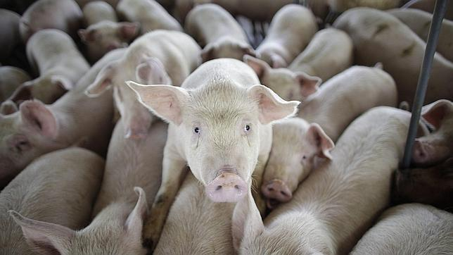 La reforma energética apaga las plantas de purín y oscurece el futuro del sector porcino