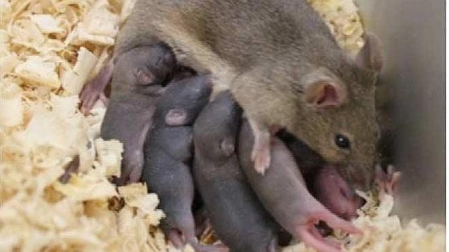 Nacen 8 ratones sanos a partir de esperma congelado de recién nacido