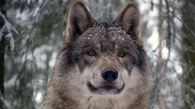 Las manchas de la cara del lobo resaltan la posición de sus ojos