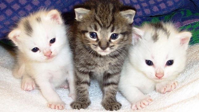 Los gatos están condicionados genéticamente para seguir siendo salvajes
