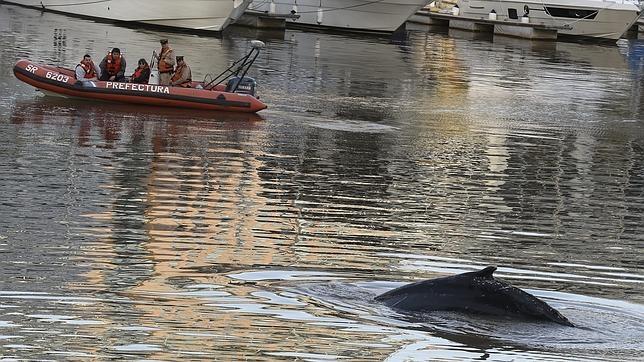 La ballena encontrada en un puerto de Buenos Aires este lunes