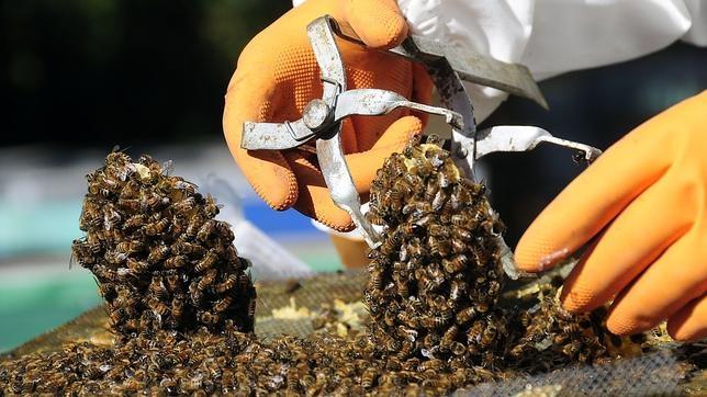 Un trabajador revisa un panal de abejas mientras producen miel
