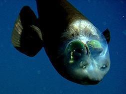 Resuelto el misterio del pez con la cabeza transparente