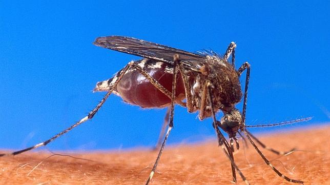 Descubren «el ingrediente» que engaña el olfato de los mosquitos