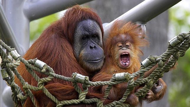 ¿Cuatro nuevas islas en Indonesia para los orangutanes?