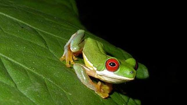 Predicen una disminución global de especies de anfibios