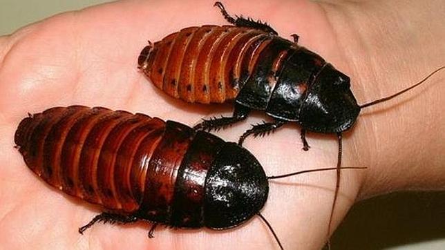 Cucaracha «cyborg» genera su propia electricidad