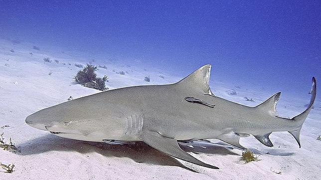Los tiburones aprenden unos de otros