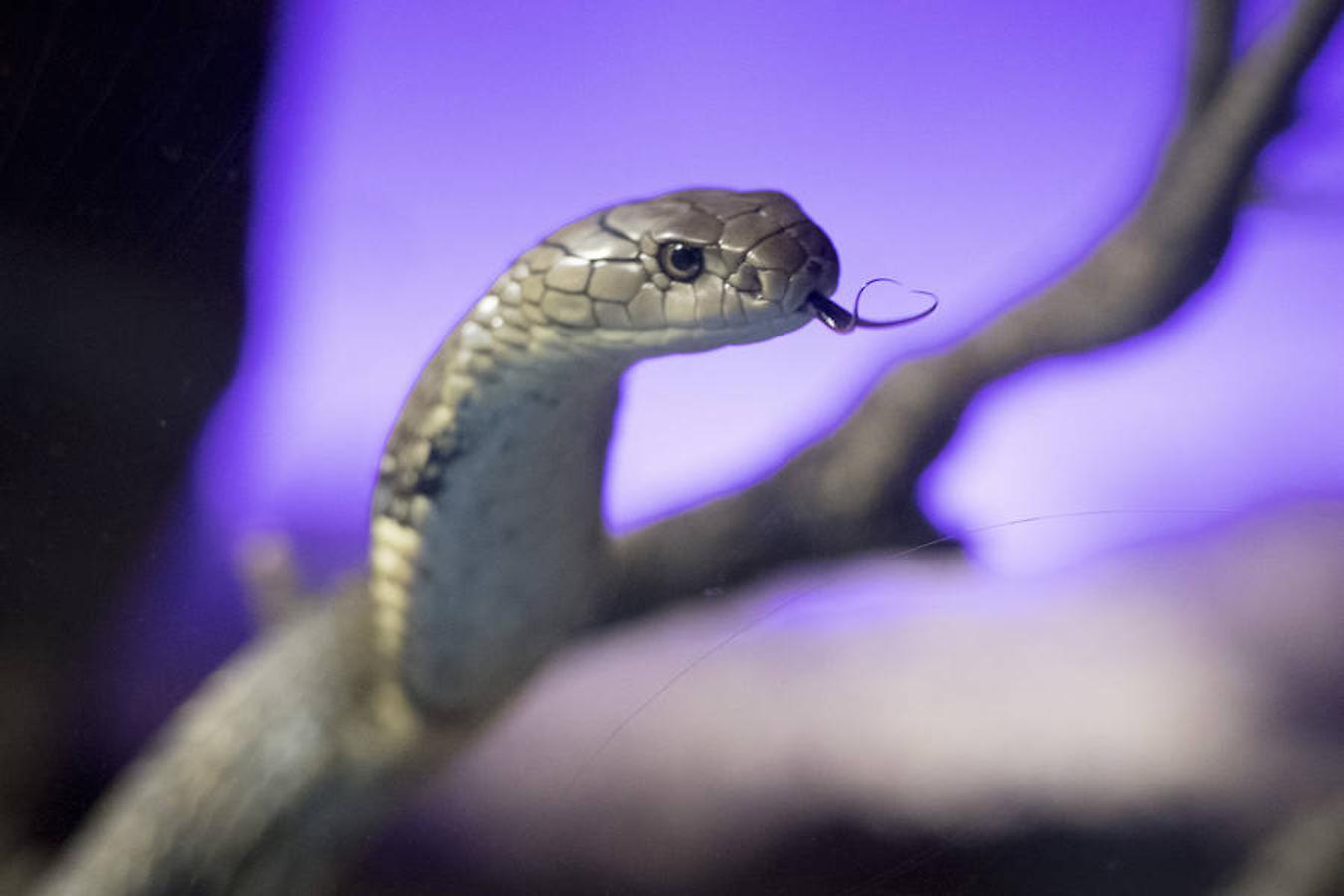 La king cobra o cobra real es la serpiente que myor concentración de veneno posee
