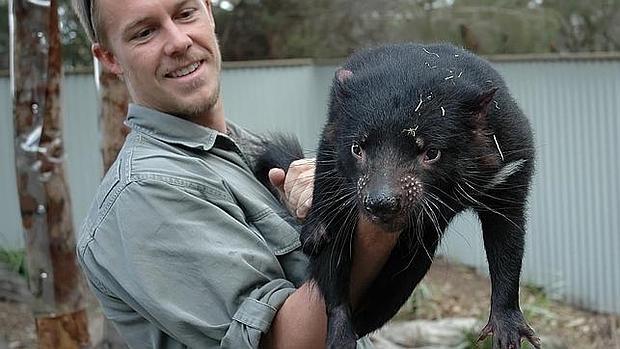 El trabajador de un zoo sostiene a un demonio de Tasmania