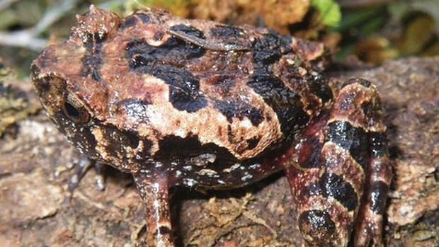 ELas nuevas especies viven en una zona inaccesible de Madagascar, el macizo de Tsaratanana