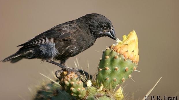 Geospiza fortis, una especie de pinzón de las Galápagos cuyo pico «encogió» tras una sequía