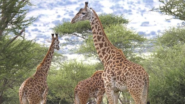 el origen de la jirafa