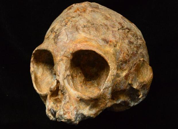 Este cráneo, del tamaño de un limón, pertenece a una nueva especie Nyanzapithecus alesi