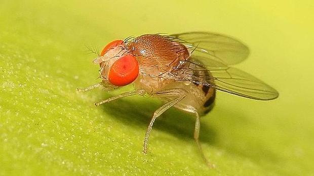 Resultado de imagen para Drosophila melanogaster