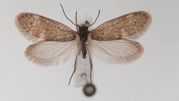 Ejemplo de un representante vivo de una polilla primitiva Glossata, polillas que portan una probóscide adaptado para chupar fluidos, incluido el néctar