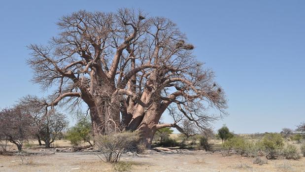 El baobab «Chapman», en Bostwana, de 1.400 años de antigüedad