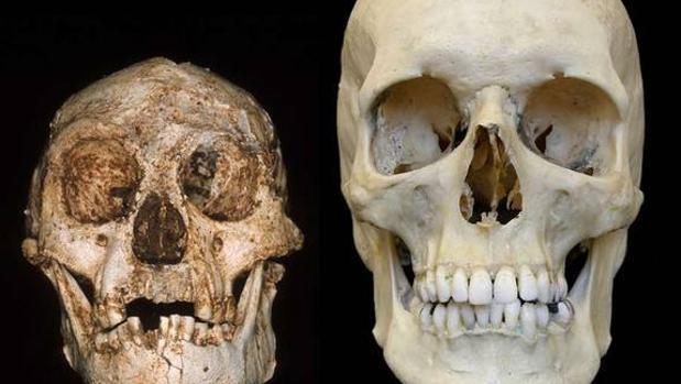 Comparación entre el cráneo de Homo floresiensis y Homo sapiens
