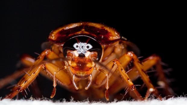 Algunas cucarachas son capaces de alimentarse de los residuos generados por el hombre, pero la mayoría vive en el medio natural