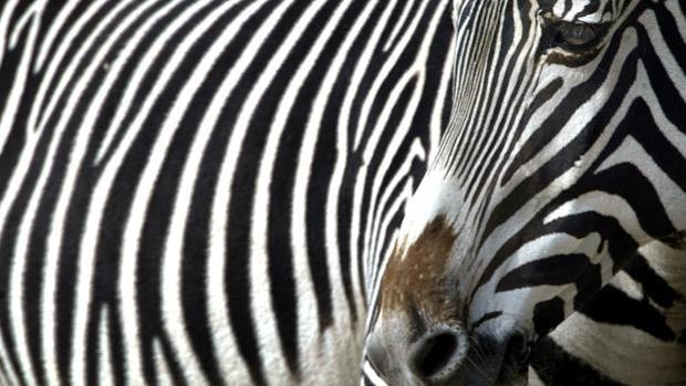 Imagen de archivo de una cebra