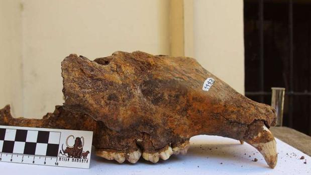 Cráneo del oso de las cavernas del Museo de Historia Natural de Belgrado (Serbia)