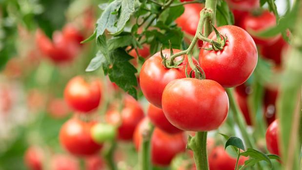 Resultado de imagen para planta tomate