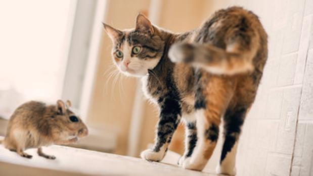 parásito común del gato afecta cerebros humanos