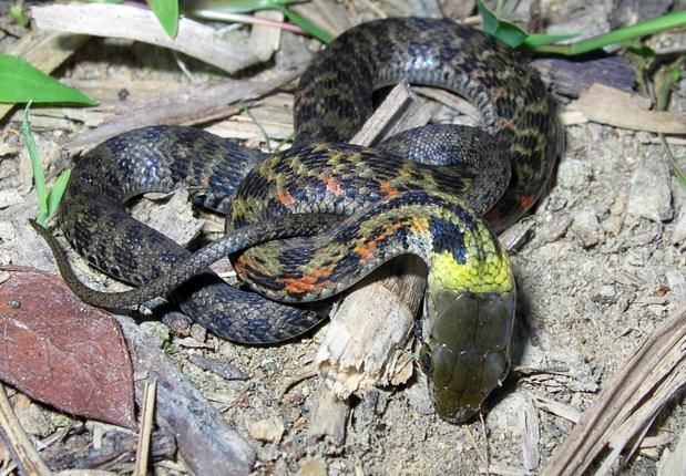 Una serpiente juvenil de Rhabdophis tigrinus de la isla japonesa de Ishima, en una postura de defensa
