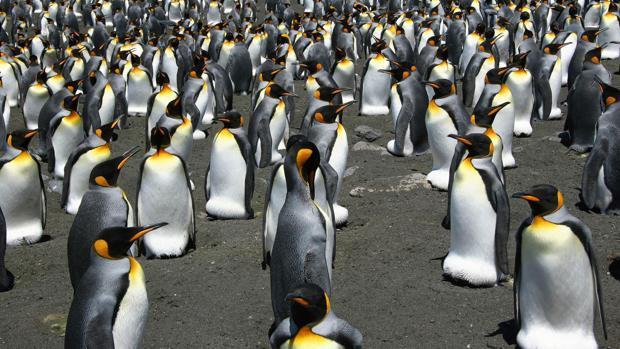 ¿Por qué han desaparecido casi un millón de pingüinos rey sin dejar rastro?