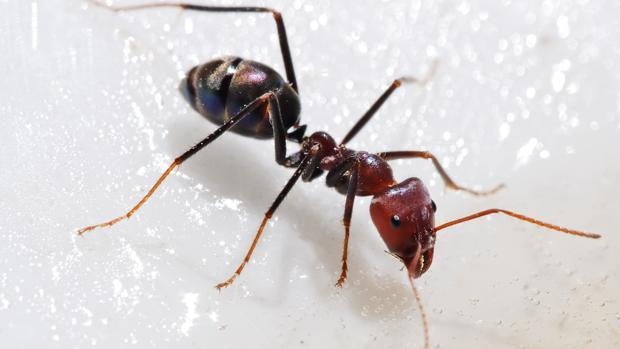 ¿Por qué las hormigas no se matan cuando caen desde muy alto pero nosotros sí?