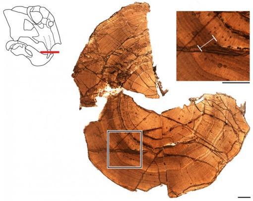 Sección del colmillo fosilizado de un Lystrosaurus antártico que muestra capas de dentina depositadas en anillos de crecimiento. En la parte superior derecha hay una vista de cerca de las capas, con una barra blanca que resalta una zona indicativa de un estado similar a la hibernación. La barra de escala es de 1 milímetro