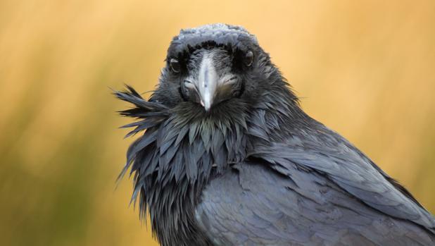 Ante ustedes un cuervo, un ser con consciencia