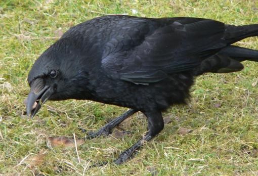 Una corneja negra