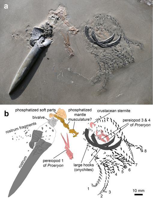 A. Imagen del fósil / B. Esquema de las partes de los fósiles