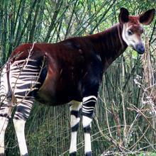 Okapi specimen