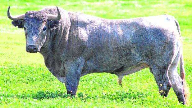 «Buscador», uno de los toros previstos para el Domingo de Ramos