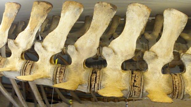 Esqueleto de ballena en el Museo de Bergen