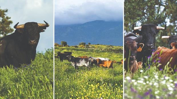 Covid-19: Las 10 medidas exigidas por los ganaderos de lidia para ...