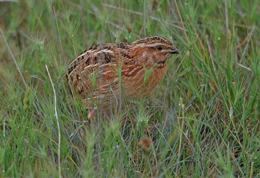 The quail is characterized by its complex traveling and reproductive patterns