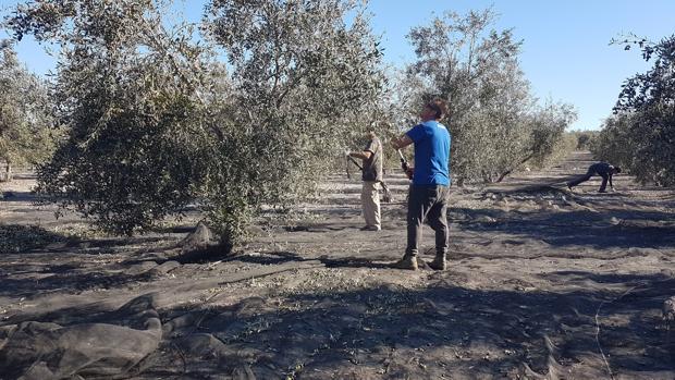 Unas personas trabajan en la recogida de la aceituna en la localidad sevillana de Arahal