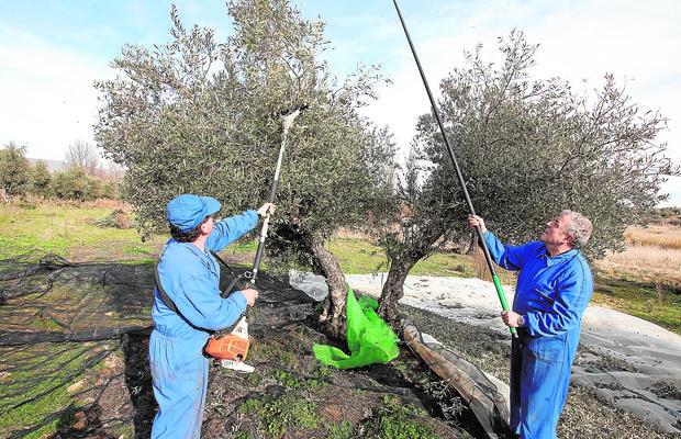 Dos agricultores varean una oliva