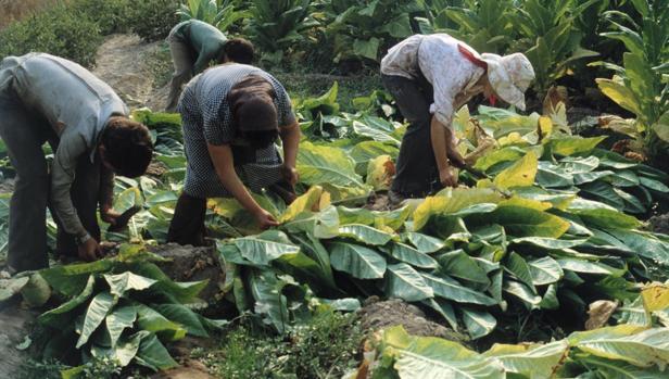 Trabajos de recogidas de las plantas de tabaco