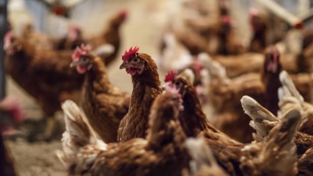 Imagen de las gallinas criadas en el suelo en las instalaciones de Huevos Guillén