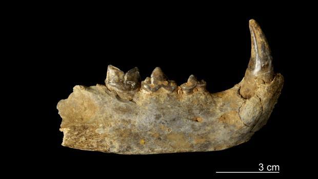 Mandíbula de leopardo recogida en el yacimiento de Valdavara 3
