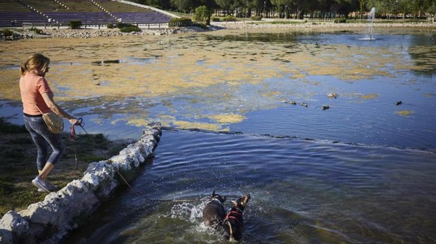 Unos perros se refrescan en el lago del parque de Las Cruces, plagado de algas