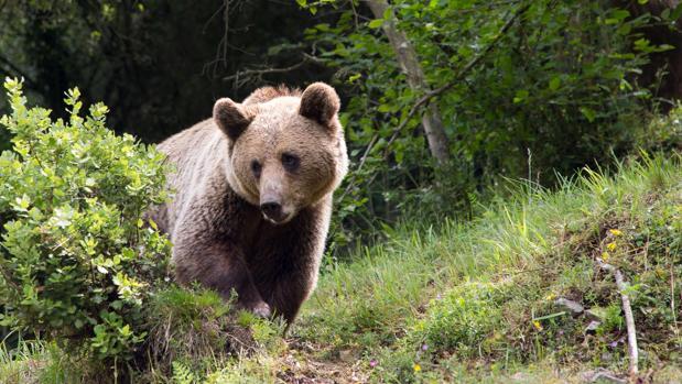 Imagen de archivo de un oso pardo