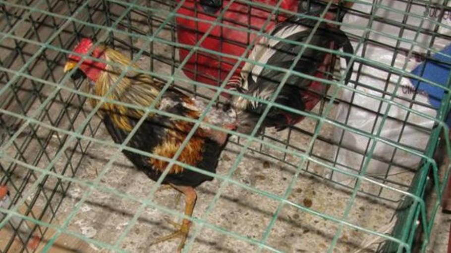 Sorprendidas 20 personas en una pelea de gallos en Valladolid